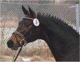 Horse Bellini Go