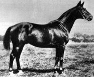 Trakehner horse Tempelhüter